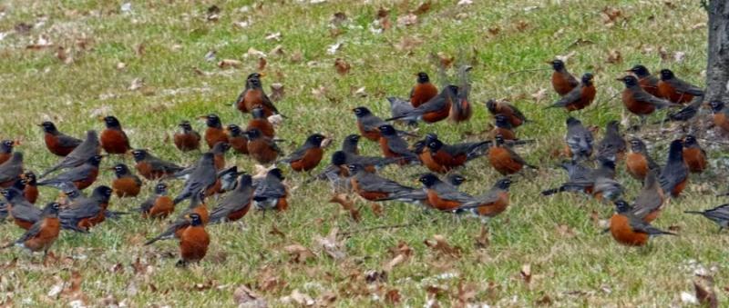 flock of robins
