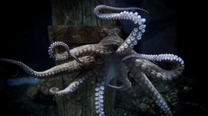 octopus-photos-rambo
